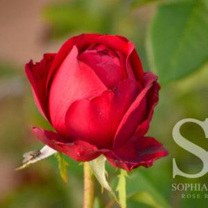Sacred Red